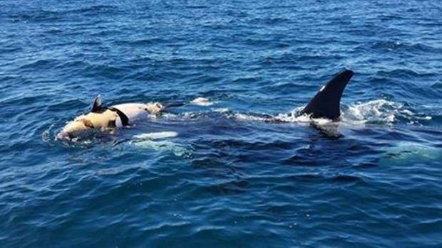 A female orca carries her calf, believed to have been killed by a boat strike off Tiritiri Matangi Island.