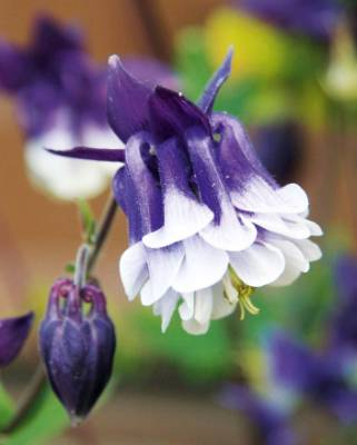 Aquilegia vulgaris 'Petticoat Delights': This is one of the more recent hybrid blends in the 'rose flowered' tradition, ...
