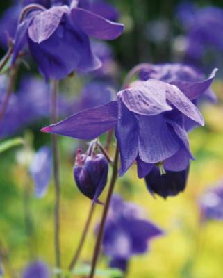 Aquilegia vulgaris: This is the common species found in European meadows and woodland edges. The nodding flowers have ...