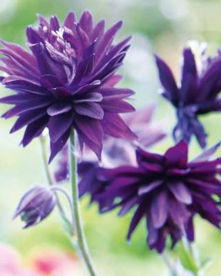 Aquilegia vulgaris var. stellata 'Blue Barlow': Another in the 'Barlow' range  with spurless double flowers. Other ...
