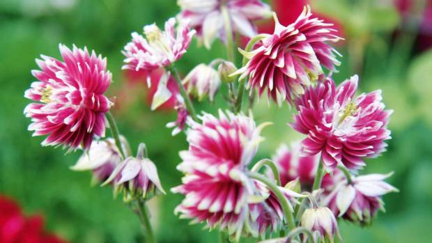 Aquilegia vulgaris var. stellata 'Nora Barlow' - frilly crowd-pleaser.
