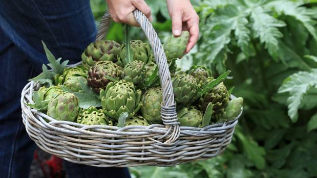 Propagate glorious globe artichokes by seed or from offshoots.