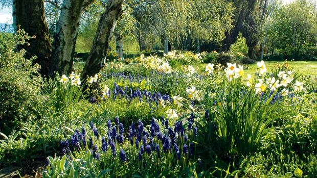 Narcissus and muscari bring cheer to Clachanburn in spring.