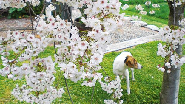 Prunus x subhirtella 'Flore Pleno' and Zoe