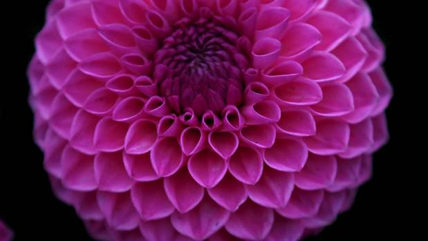 Why dahlias are a perennial favourite in the garden stuff mightylinksfo