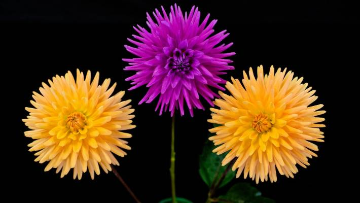 Why Dahlias Are A Perennial Favourite In The Garden Stuff