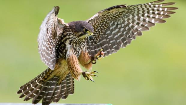 Council warning: threatened falcon species launch fists of ...