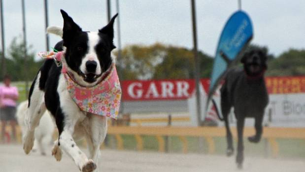 Dogs pound their paws during one of the races on Pooch Racing Day at the Cambridge Raceway in 2015.