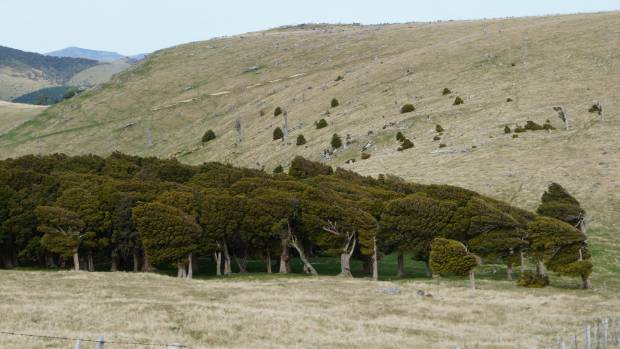 A windswept totara forest on the Summit Walkway.