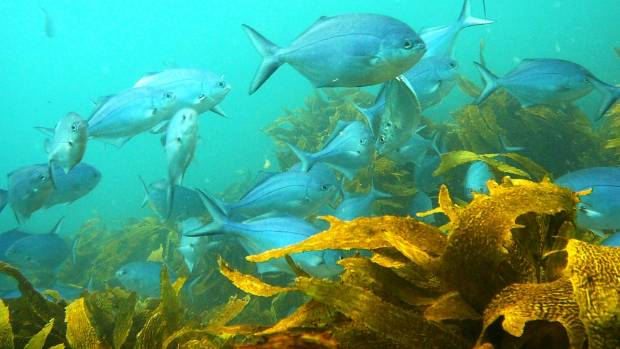 Leigh marine reserve's teeming sea life is a big visitor drawcard.
