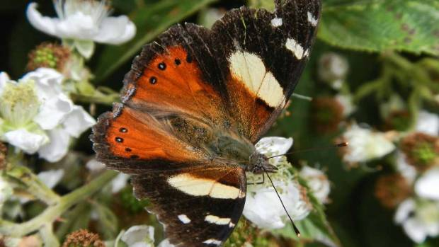Yellow admiral butterfly.