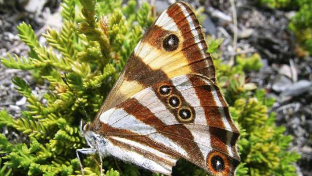 The forest ringlet butterfly has experienced a major decline in numbers.