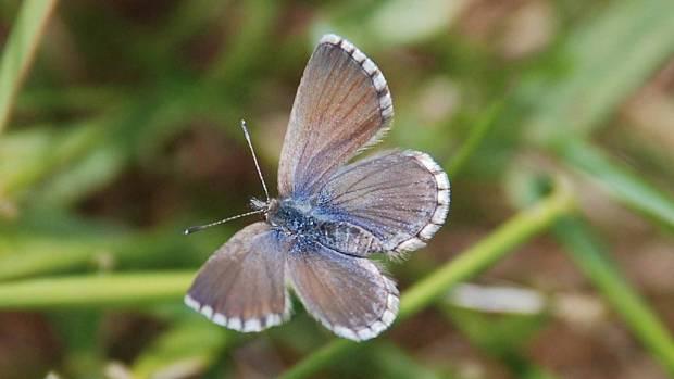 Southern blue butterfly.