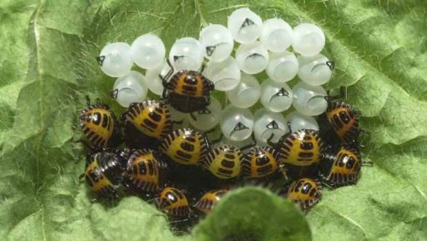 Eggs of the brown marmorated stink bug, with emerging nymphs.