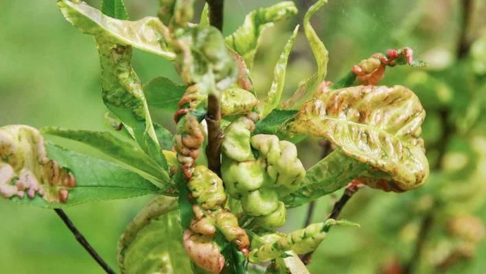 Spray To Combat Leaf Curl In Stonefruit