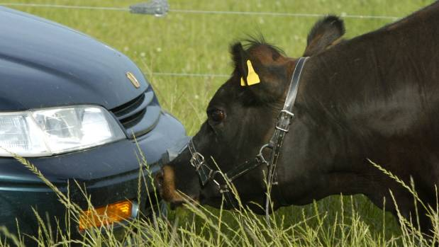 Farm animals produce more greenhouse gas emissions in New Zealand than cars.