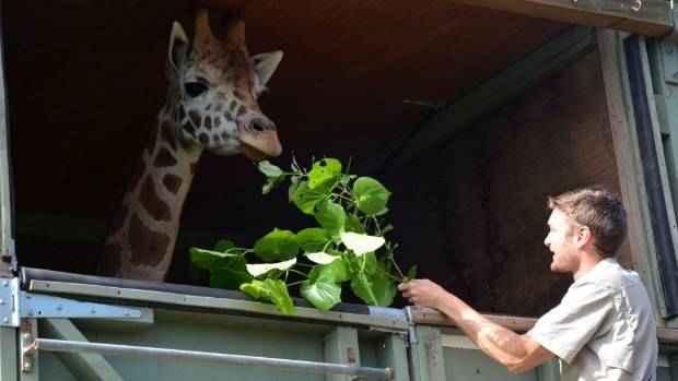 Auckland Zoo giraffe Shira will arrive by ship in Timaru about 2pm on Friday before being transported by road to Orana ...