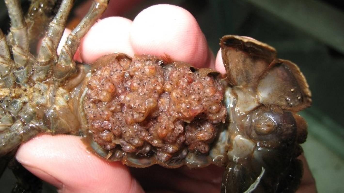 Crayfish flourish among the pines   Stuff co nz