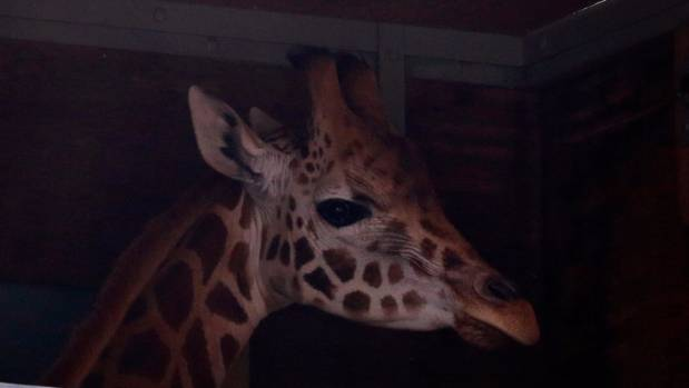 Mdomo the giraffe's half-sister, Shira, is transported off the boat at Timaru's port, on its way to Orana Wildlife Park ...