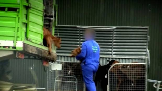 Two Waikato firms have been implicated in undercover video footage released by the Farmwatch organisation in the ill ...