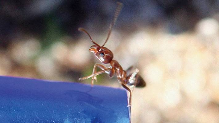 New poison to control Argentine ant population being