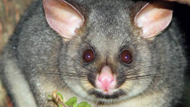 """The Conservation Department says possums are """"one of the greatest threats to our natural environment""""."""