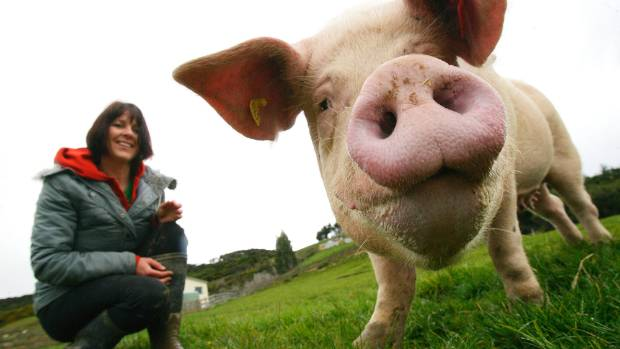 "Carolyn Press-McKenzie with her pig Piggy Sue at her animal sanctuary in Upper Hutt, after Piggy Sue was ""rescued"" in ..."