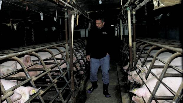 Former comedian and Pork Board promoter Mike King on a 2009 visit to a piggery near Levin, where he saw first-hand the ...
