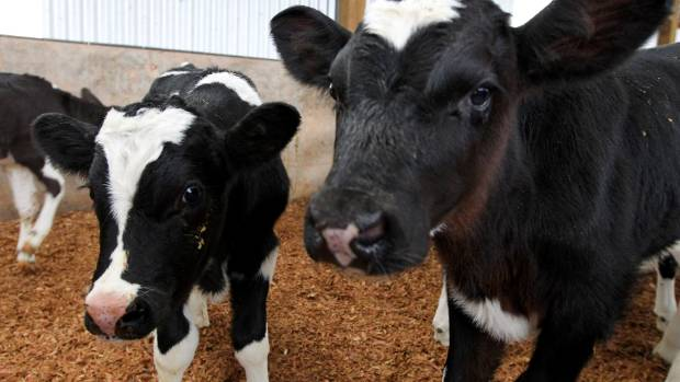 the treatment of bobby calves Oral solution for treatment of cryptospiridium in calves  not for use in bobby  calves  calves 35 kg-45 kg – administer 8 ml of halocur once a day for 7.