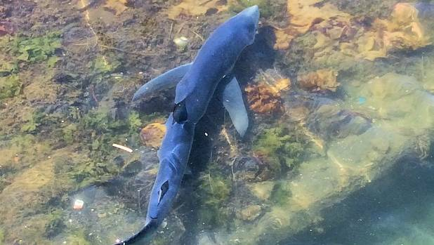 The shark spotted cruising Andersons Bay Inlet in Dunedin is believed to be a blue shark, like the one pictured.