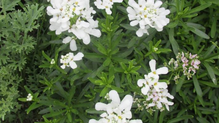 Choose the right plants for your all white garden stuff snowtop is an evergreen groundcover with pure white flowers from late winter into summer mightylinksfo
