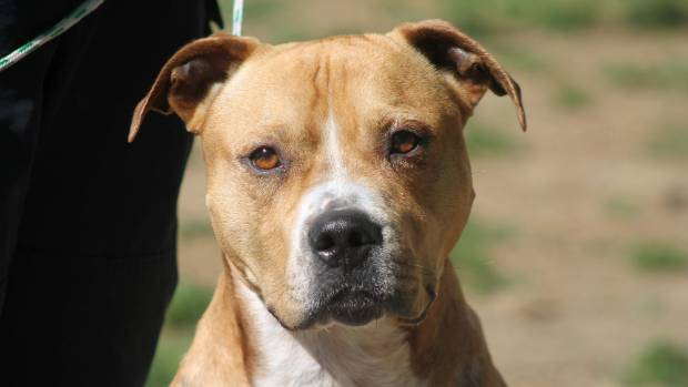 Riggs, one of the pit bulls up for adoption at the SPCA's Animal Village in Mangere.