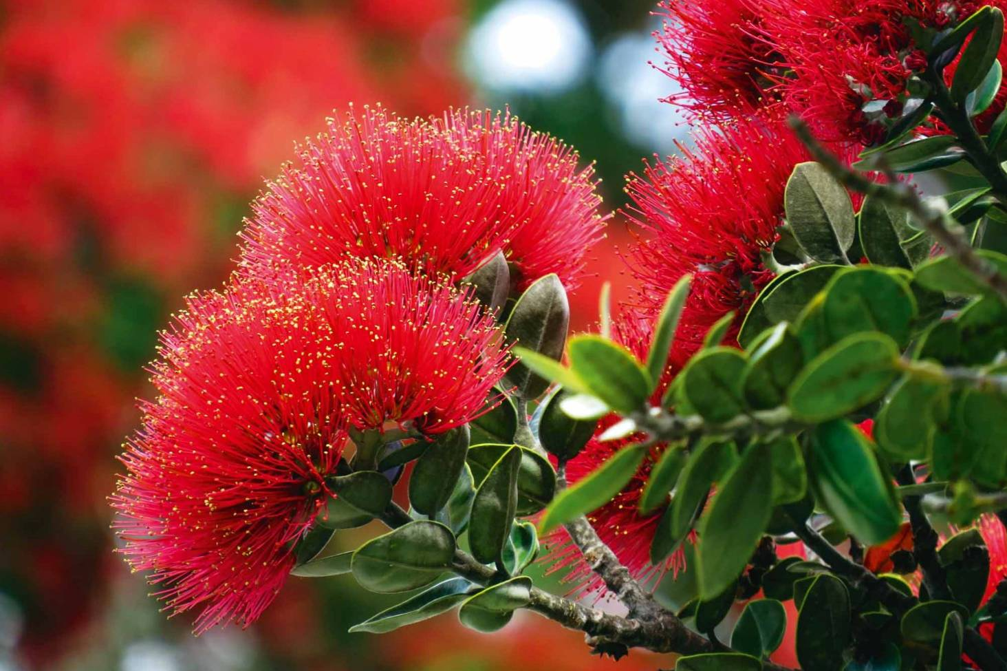 Pohutukawa And Rata How To Grow New Zealand S Christmas Trees