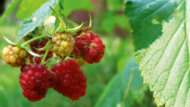 Ripe raspberries are irresistible to humans and wildlife alike.