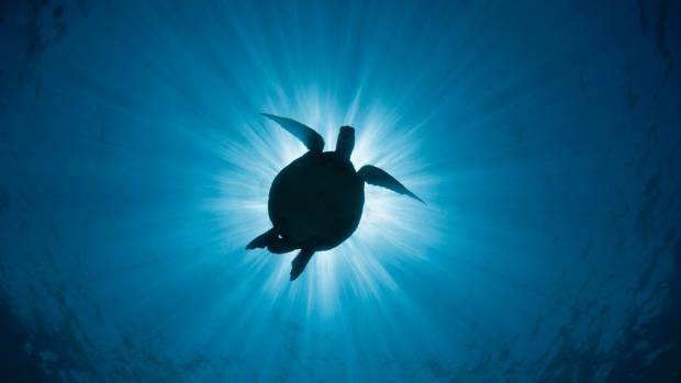 A turtle off Lady Elliot Island, Australia.