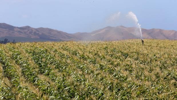Corn fields irrigated in Marlborough's hot climate
