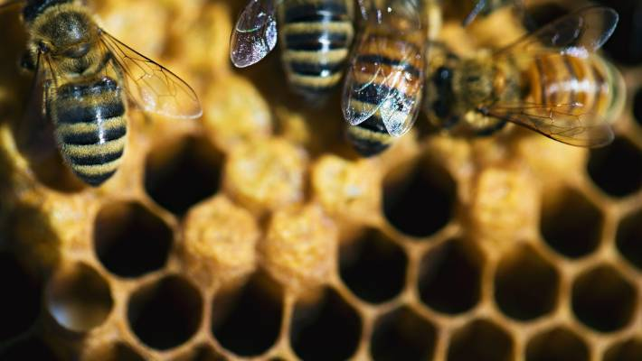 Manuka honey could 'bee' farmers' solution to unused land | Stuff co nz