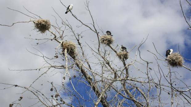 Pied shags roost near the entrance to Wairau Lagoons.