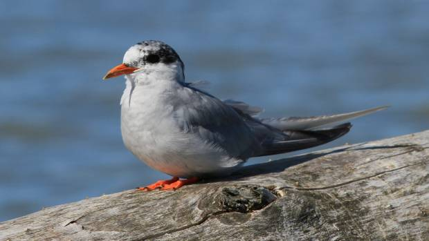 A black-fronted tern