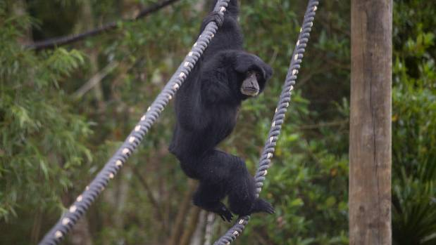 Hamilton Zoo has built a new outdoor enclosure for its two siamangs, Itam and Iuri.