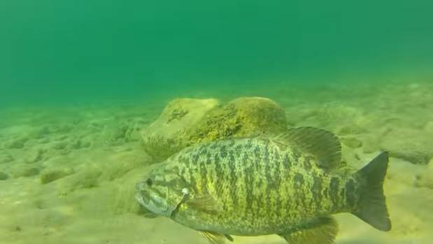 Scientists suspect pollution in streams and rivers are causing male fish to change sex.