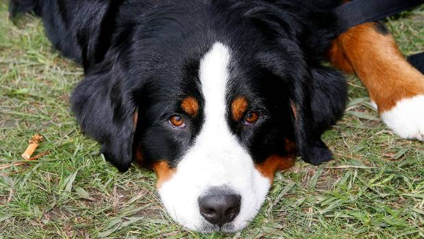 How Much Exercise Does A Bernese Mountain Dog Puppy Need