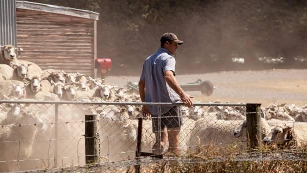 Mark Zino moves sheep on his drought-stricken Hawarden, North Canterbury, farm.