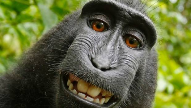 The selfie photos were taken by the monkey with an unattended camera owned by British nature photographer David Slater.