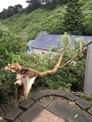 This tree could not stand up to the wind at a house in Hataitai, Wellington, bringing down the neighbours' clothes line.