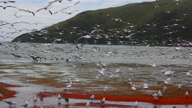 Birds feed on krill washed up on an Otago beach.