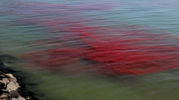 Paul Van Kampen captured this image of krill in Otago Harbour.