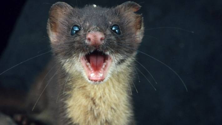 wellington s zealandia to set 70 traps for suspected weasel pest