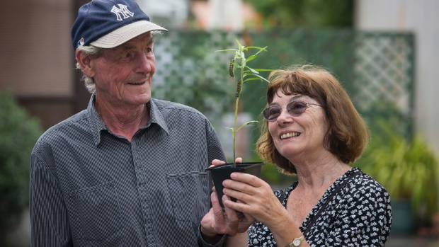Tony Staufer and Chrissie Ward with monarch butterfly caterpillars they've raised in a wasp-proof enclosure.