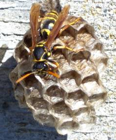 An asian paper wasp on a nest in a Nelson garden.